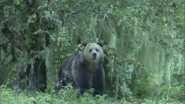 vídeos de stock, filmes e b-roll de a grizzly bear stands in a thicket and looks around, then walks off. - onívoro