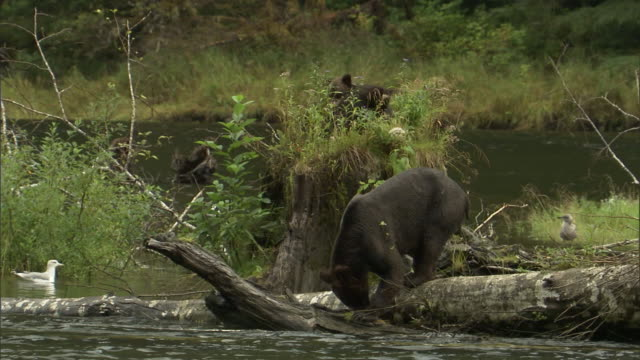 vídeos de stock, filmes e b-roll de a grizzly bear stands on a fallen log and looks into the river. - onívoro