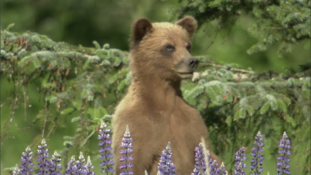 A grizzly bear stands on its hind legs and looks across a field of lupine flowers.