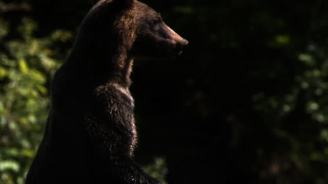 grizzly bear stands up on hind legs and looks around. - grizzlybär stock-videos und b-roll-filmmaterial