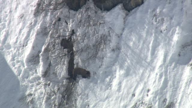 vidéos et rushes de a grizzly bear struggles to descend a steep, snowy slope. - glisser