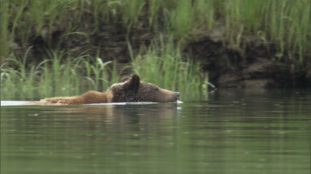vídeos de stock, filmes e b-roll de a grizzly bear swims across an estuary. - onívoro