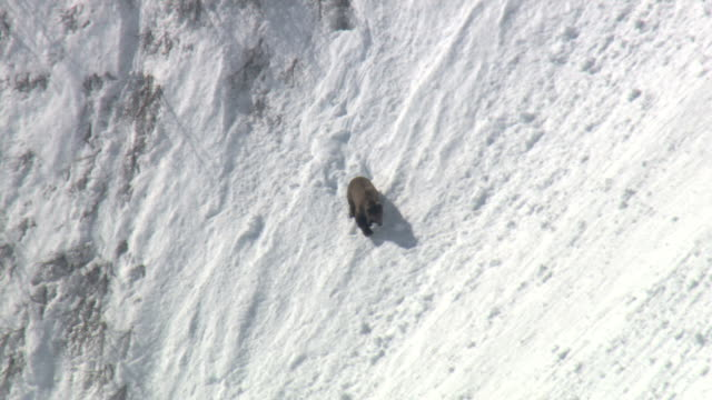 a grizzly bear tentatively gallops and slides down a steep, snowy mountain slope. - sliding stock videos & royalty-free footage