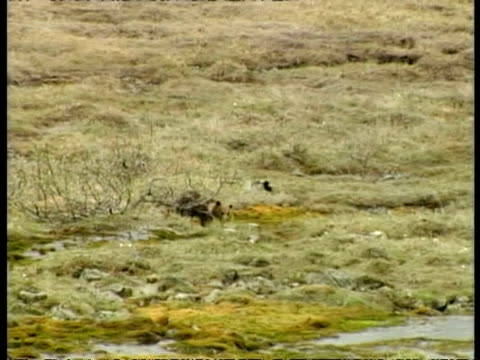 wa grizzly bear, ursus arctos horribilis, cub practicing hunting skills by chasing black billed magpie, arctic circle - elster stock-videos und b-roll-filmmaterial