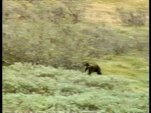 wa grizzly bear, ursus arctos horribilis, cub practicing hunting skills by chasing black billed magpie, arctic circle - 逃げる点の映像素材/bロール