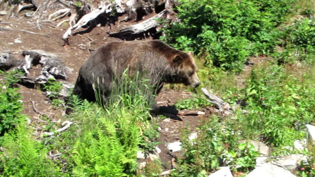 grizzly bear walking - vancouver canada stock videos and b-roll footage