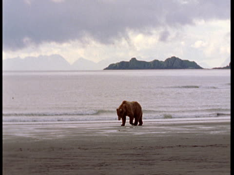 a grizzly bear walks across a beach at low tide. - low tide stock videos & royalty-free footage