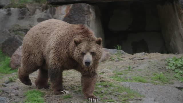 Grizzly bear walks on rocks