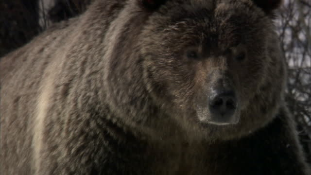 vídeos de stock, filmes e b-roll de grizzly bear (ursus arctos) walks over snow, yellowstone, usa - pata com garras