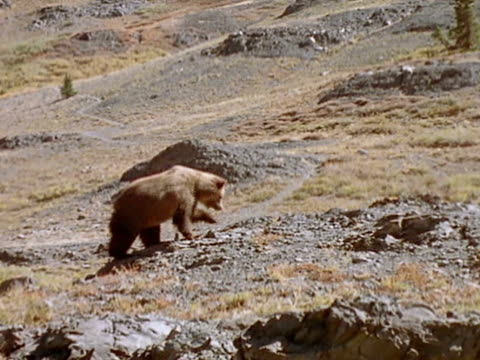 vídeos de stock e filmes b-roll de grizzly bear walks up a rocky mountainside. - pinaceae