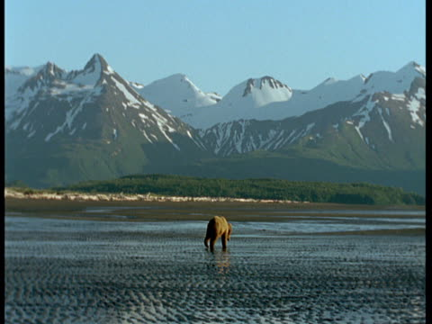 a grizzly bear wanders along a wet beach during low tide. - ebbe stock-videos und b-roll-filmmaterial