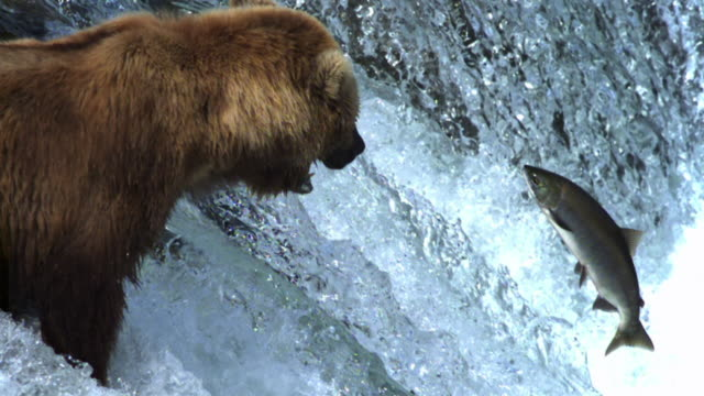 grizzly bear watches salmon leaping up waterfall and attempts to grab it. - salmon animal stock videos & royalty-free footage