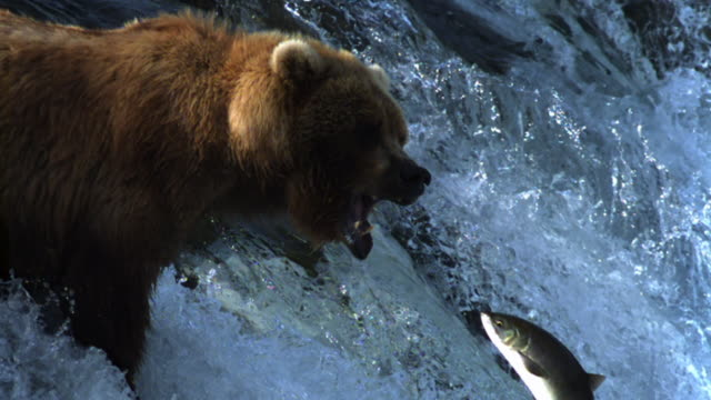 grizzly bear watches salmon leaping up waterfall. - sopravvivenza video stock e b–roll