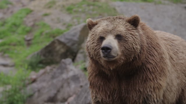 vidéos et rushes de cu of grizzly bear with claws - ours brun