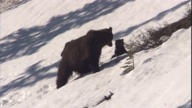 Grizzly bear with cubs in snow, Banff, Canada Available in HD