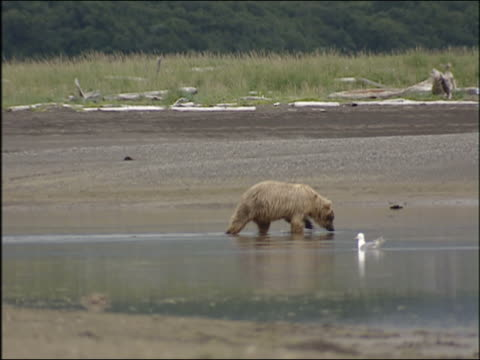 grizzly bears digging for clams and eating grass in alaska in summer 2005 - mollusk stock videos & royalty-free footage