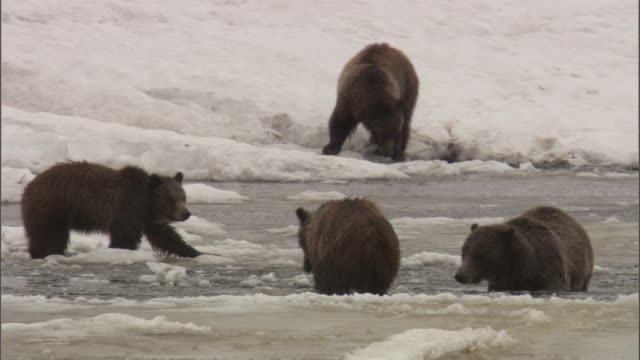 grizzly bears (ursus arctos) forage in icy river, yellowstone, usa - yellowstone river stock videos and b-roll footage
