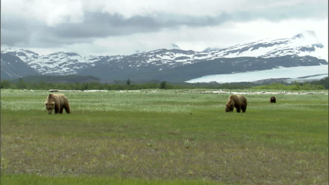 vidéos et rushes de grizzly bears graze in a grassy field at the base of snowy mountains in alaska. - ours brun