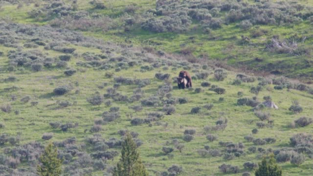 vídeos de stock, filmes e b-roll de grizzly bears mating in yellowstone national park. - bozeman