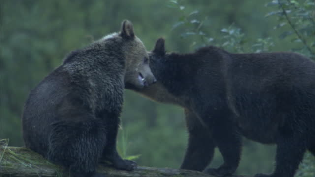 vídeos de stock, filmes e b-roll de grizzly bears nuzzle and nip at each other as they stand on a fallen log, then one bear sits and scratches itself. - onívoro