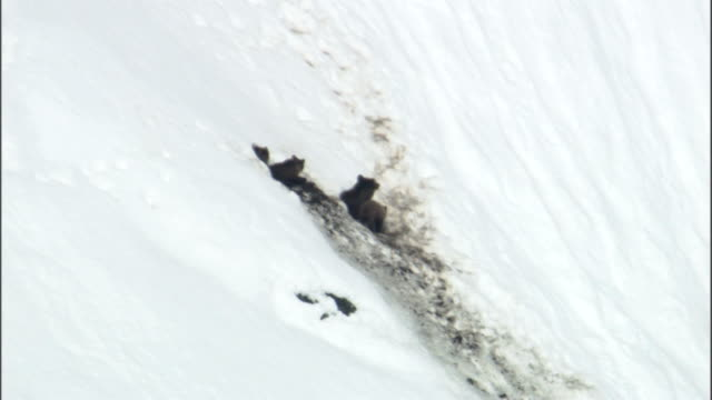 stockvideo's en b-roll-footage met grizzly bears peek out of their den entrance on a snowy slope. - dierenhol
