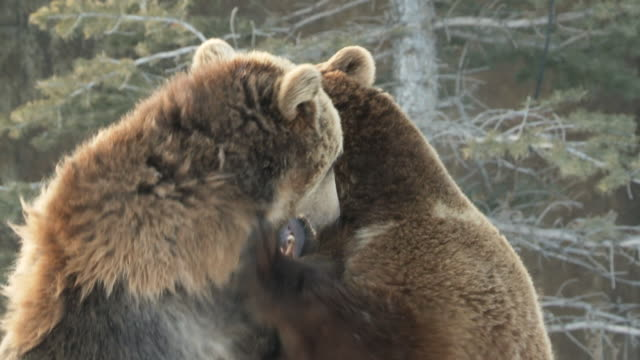 MS TD PAN SLO MO Grizzly bears playing with each other / Livingstone, Montana, United States