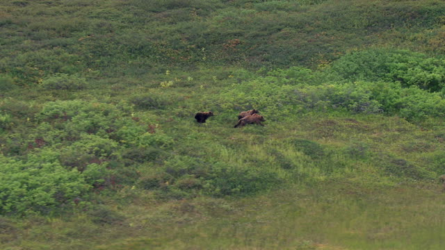 vidéos et rushes de grizzly bears running through brush - ours brun