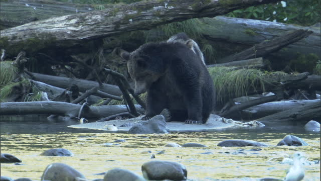 vídeos de stock, filmes e b-roll de grizzly bears scratch themselves as they sit on a riverbank. - onívoro
