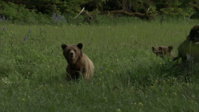 vídeos de stock, filmes e b-roll de grizzly bears stand in a grassy meadow and look around. - onívoro
