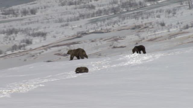 grizzly bears trek across a snowy mountaintop in alaska. - bear cub stock videos and b-roll footage