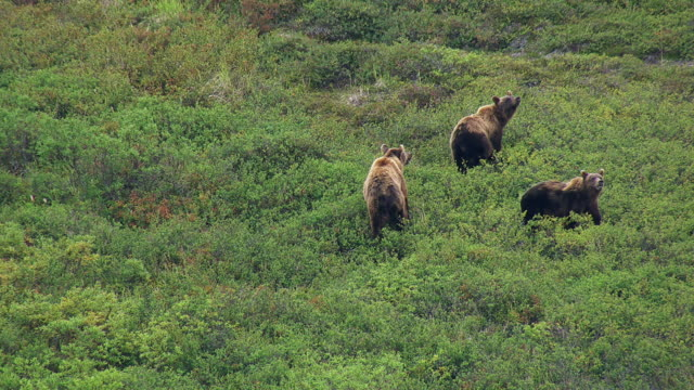 grizzly bears walk though brush - bear stock videos and b-roll footage