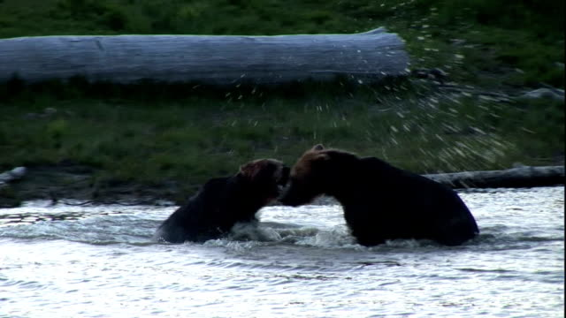 grizzly bears wrestle and splash in a river - bear stock videos & royalty-free footage