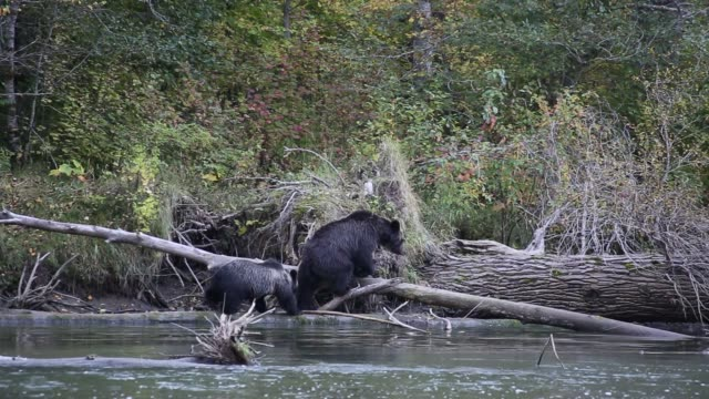 grizzly mom and cub by the river - bear cub stock videos and b-roll footage