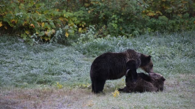 Grizzly mom playing with cub