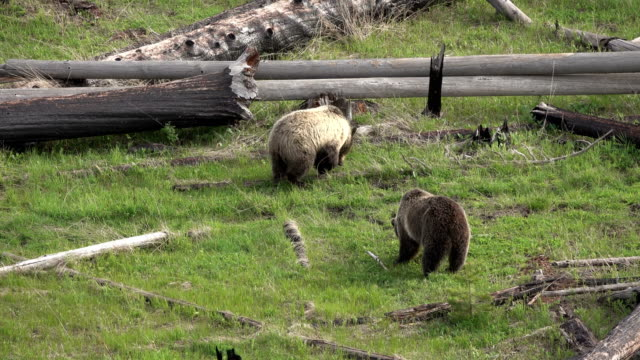 Grizzly pair eating walk forest fire burnt logs Yellowstone National Park Wyoming