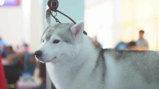 Groomer cuts fur of Shiba Dog