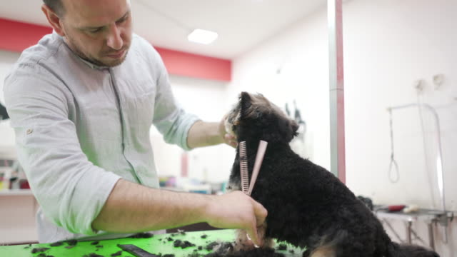 grooming and styling a little yorkie - working animal stock videos & royalty-free footage