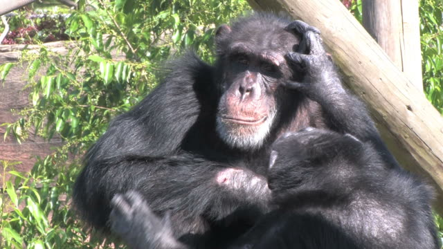 stockvideo's en b-roll-footage met grooming chimps in hd - dierenverzorging