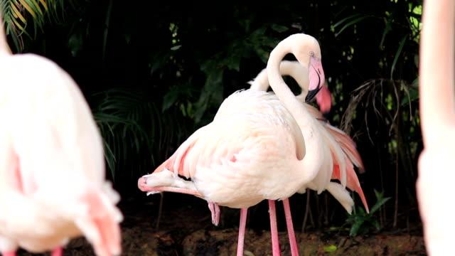 Grooming Flamingo bird feathers