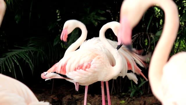 vídeos de stock, filmes e b-roll de grooming flamingo penas de aves - boca animal