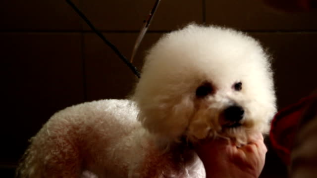 Grooming fringe of white dog
