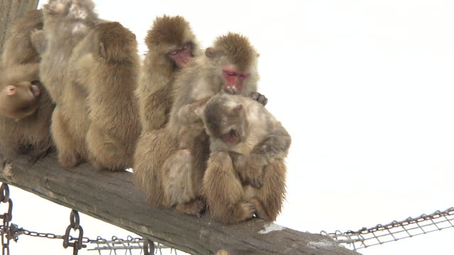 grooming monkeys in ishikawa, japan - ishikawa prefecture stock videos and b-roll footage