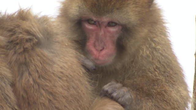 grooming monkeys in the snow  in ishikawa, japan - ishikawa prefecture stock videos and b-roll footage