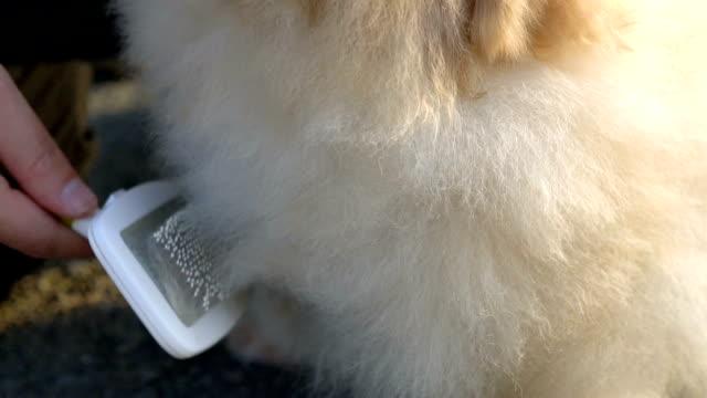 CU - Grooming Pomeranian Outdoor