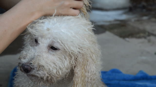 grooming wet poodle after taking a shower