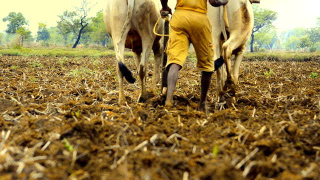 Ground level backside view of indian farmer plowing land traditionally
