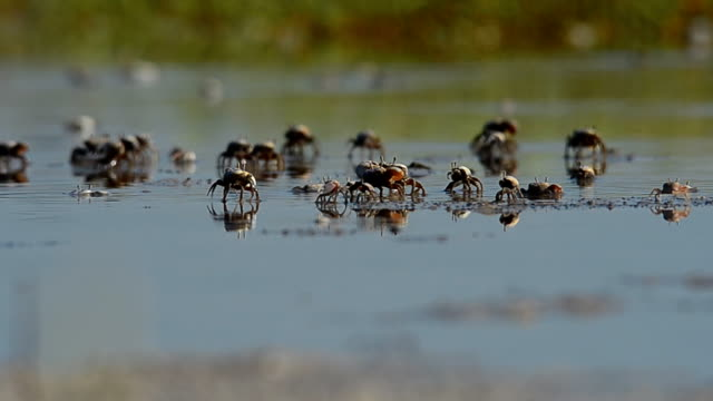 Ground level view of fiddler crabs in shallow water