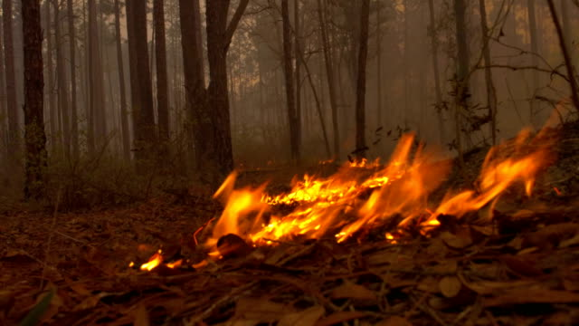Ground level view of flames moving along forest floor towards camera