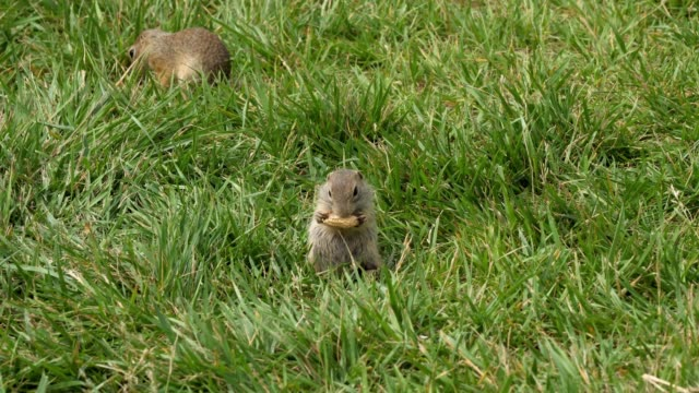 ground squirrel in green grass eating a peanut - rodent stock videos & royalty-free footage