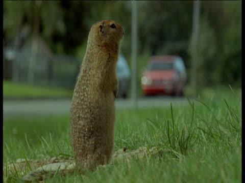 ground squirrel looks around, anchorage, alaska - anchorage alaska stock videos & royalty-free footage